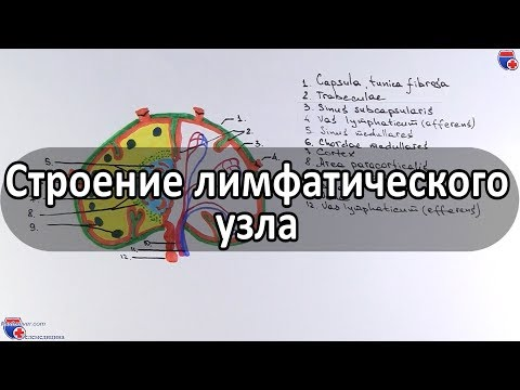 Строение лимфатического узла - Meduniver.com