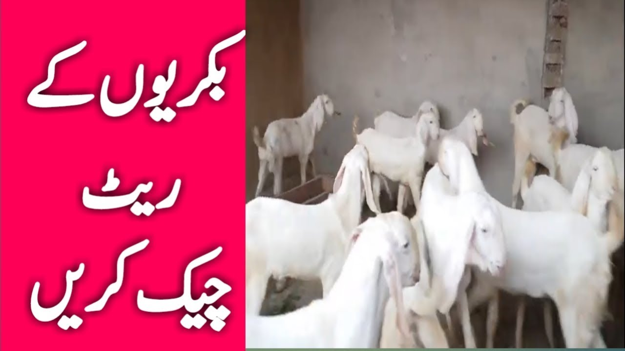 Goat's price | bakrion ke rate check Karen | rajanpuri goat price in  Pakistan | bakri Farm