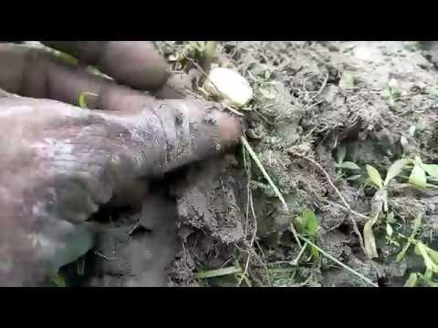নেপিয়ার ঘাস চাষ পদ্ধতি Napier grass farming system 