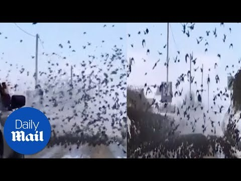 Flock of Starlings block the road  - Daily Mail