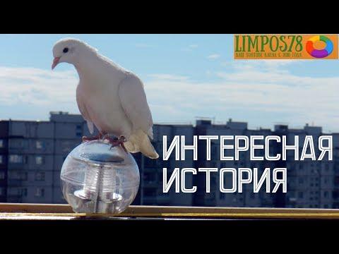 Ко мне на балкон прилетел ручной белый голубь. Что с ним стало?