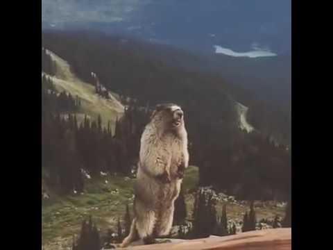 Сурок орёт в горах
