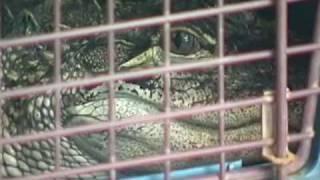 HYANNIS,MA- Alligator Invades Neighborhood (06-22-08)