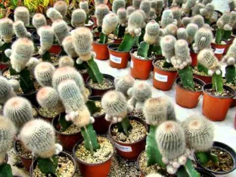 Cuautla edo morelos m xico conaplor 6 6 for Donde venden cactus