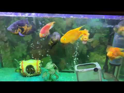 4 Feet Acquirum Oscar  Short Body Flower Horn And Parrot Fishes Or One DOLLER FISH
