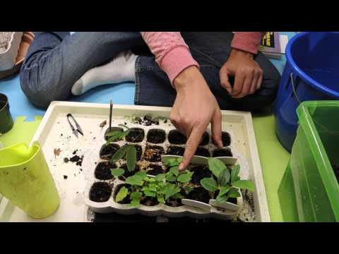 Transplanting some Seedlings