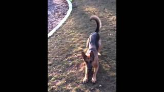 Gsd German Shepherd Dog Follows Commands And Plays With A Basketball!