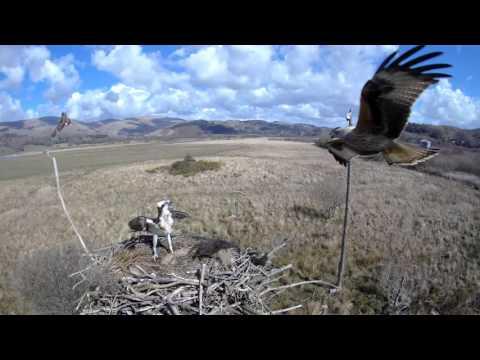 Two ospreys, one flounder, one kite, no fools