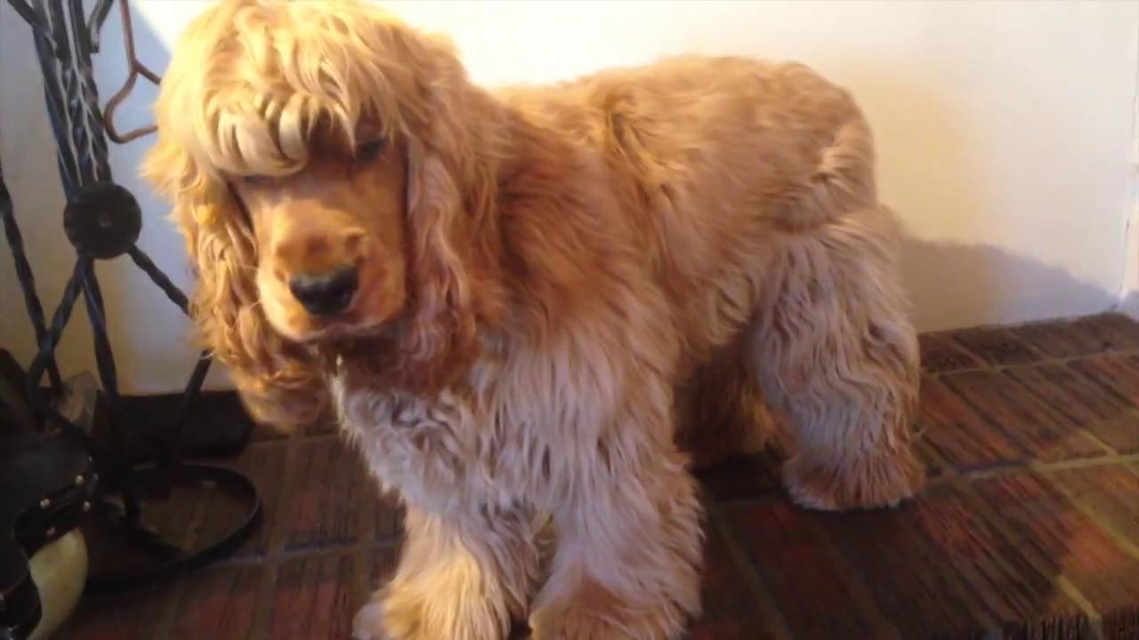 Cocker spaniel gets a haircut