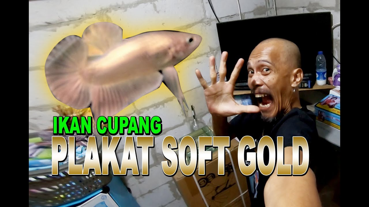Ikan Cupang Plakat Soft Gold Youtube