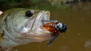 Bass Love Cicadas!