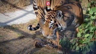 Три тигренка родились в крымском парке