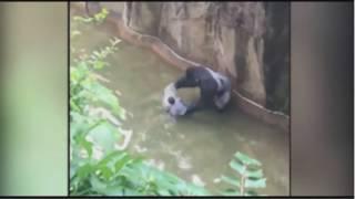 Четырехлетний мальчик упал в вольер с огромной гориллой(Десять минут наедине с огромной гориллой провел 4-х летний малыш в штате Огайо США. Gorilla grabs child who's fallen into..., 2016-05-30T04:41:45.000Z)