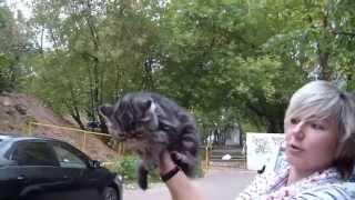 Геракл Фанни Кэт - котенок экзот