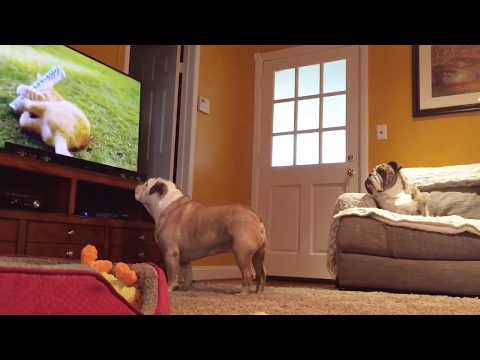 Hidden Camera Captures Two Bulldogs Interacting With TV Program. HYSTERICAL
