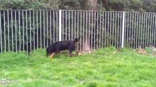Rottweiler Hip Dysplasia  Rocky