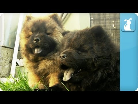 Chow Chow Puppies Puppylove Youtube