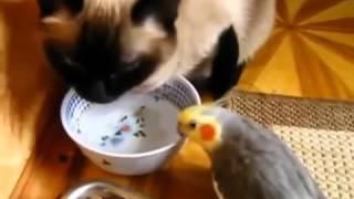 ►►  Мирный обед попугая с котом!)