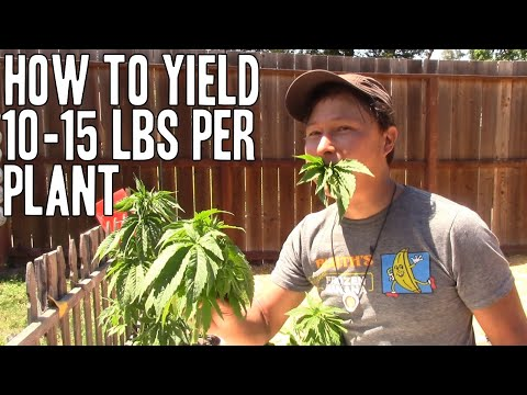 Grow 10+ POUNDS of Cannabis Flower on ONE PLANT   Increase Yield