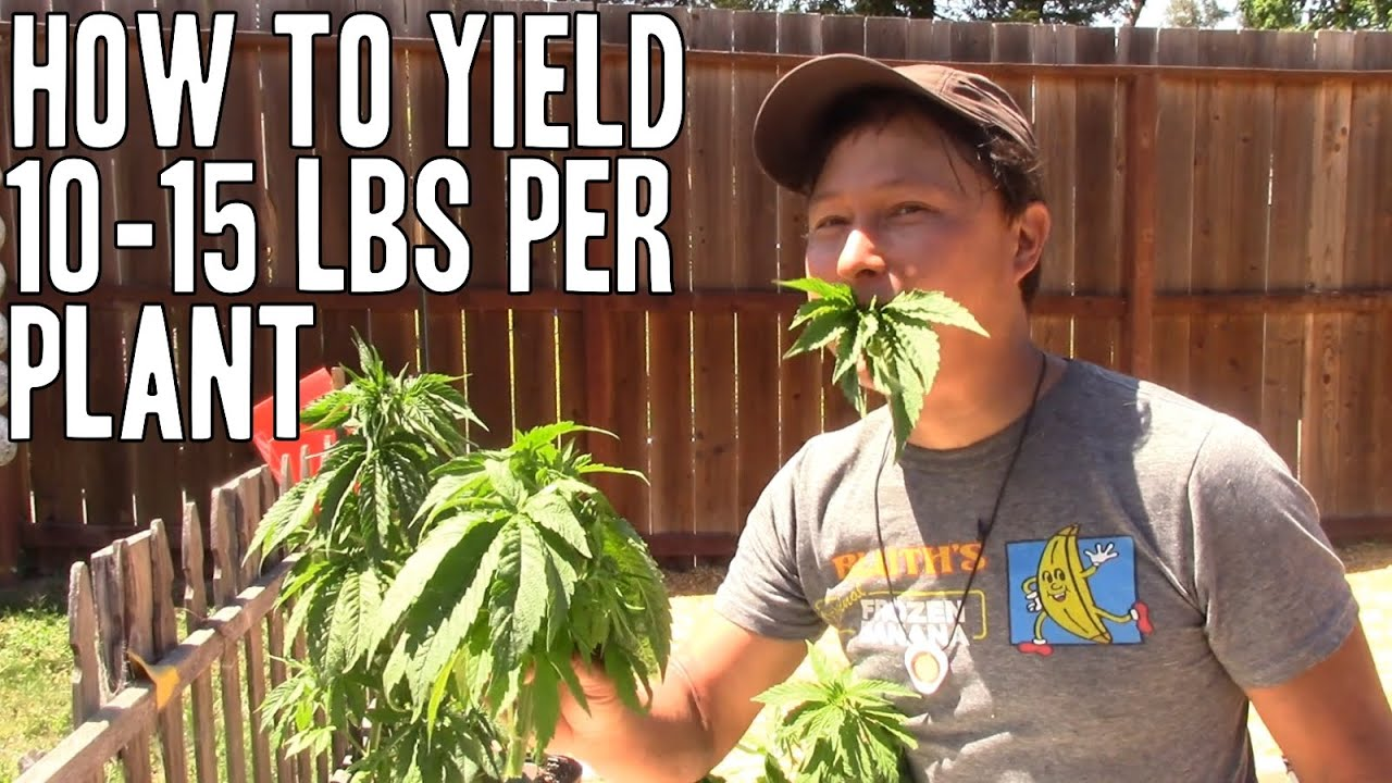 Download Grow 10+ POUNDS of Cannabis Flower on ONE PLANT   Increase Yield