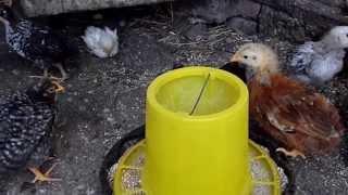 цыплята -2 недели(выращивание., 2014-01-23T09:52:54.000Z)