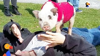Pig Travels The Country To Change The Way People Think About Animals | The Dodo