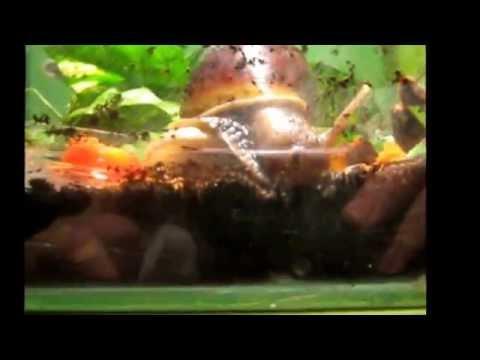 Afrikai óriáscsigák(achatina fulica)
