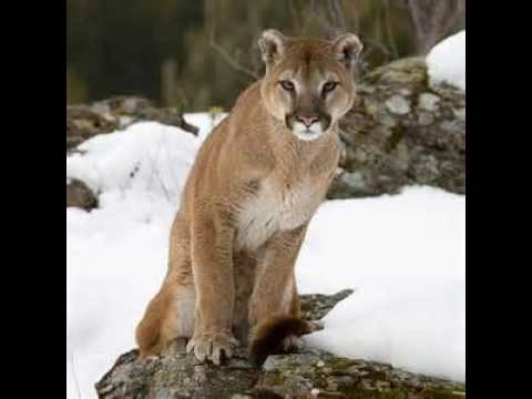 Cougar Growls!:) (Real Sounds)