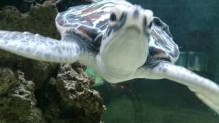 Cute Baby Sea Turtle Swimming  Close Up