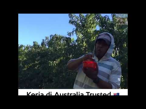 Staff Malaysia Makan di Ladang Australia.      ⭐  ⭐  ⭐  ⭐  ⭐    (KERJA DI AUSTRALIA TRUSTED).