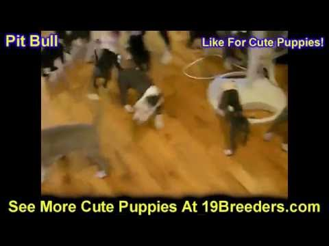 Pitbull, Puppies, For, Sale, In, Badger, County, Alaska, Ak, Kink Fairview, College