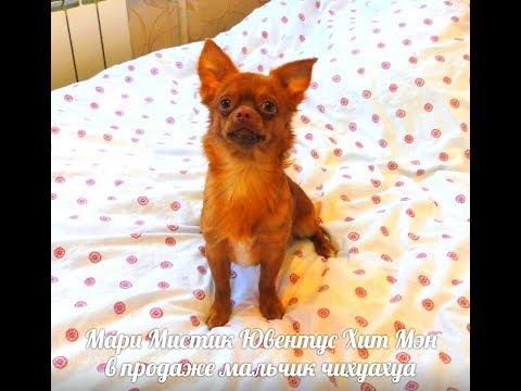 Our very cute Chihuahuaиз YouTube · Длительность: 2 мин17 с  · Просмотров: 255 · отправлено: 14.07.2017 · кем отправлено: Murzikcat
