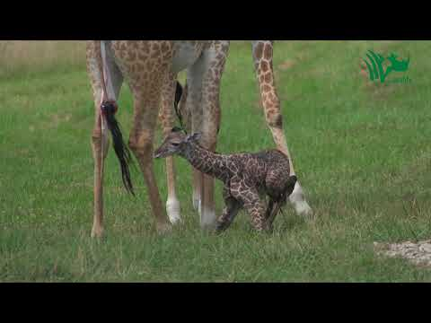 baby-giraffe-tries-to-stand-and-takes-his-first-steps