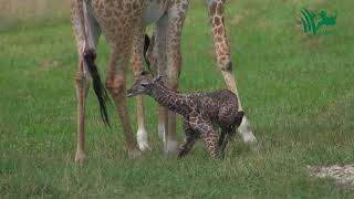 Baby Giraffe Tries to Stand and Takes His First Steps