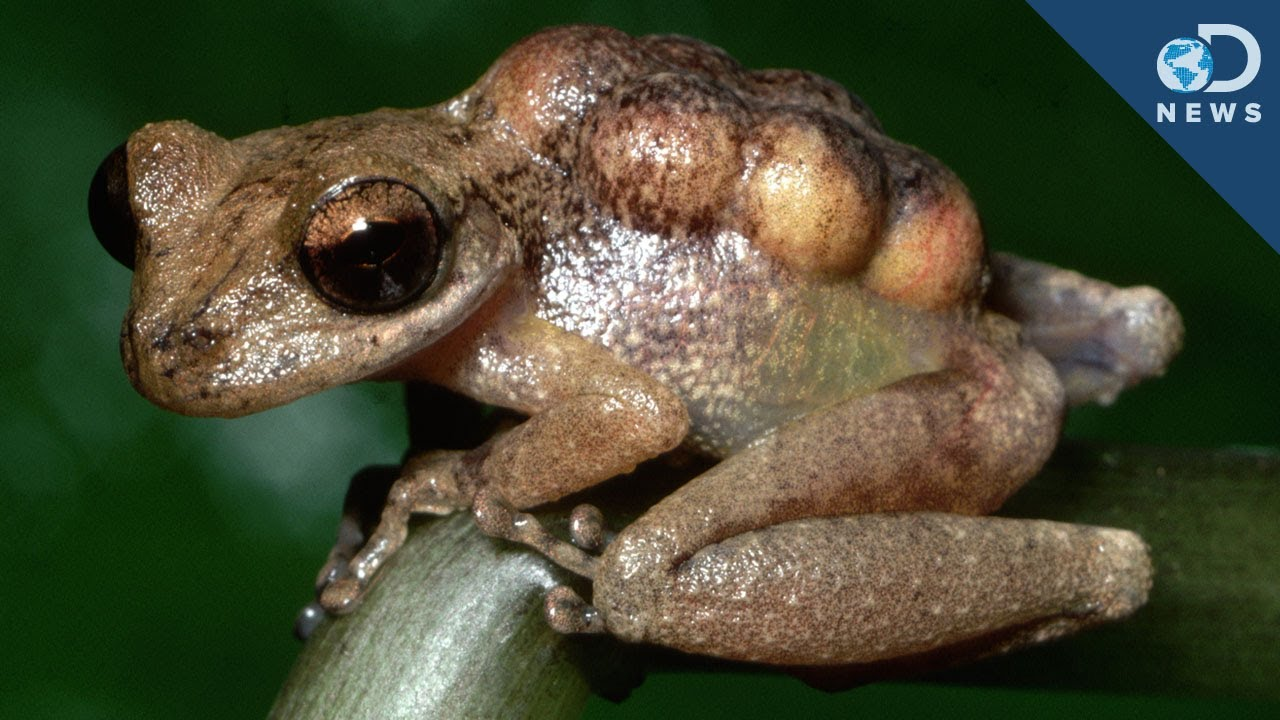 Image result for Marsupial Frogs