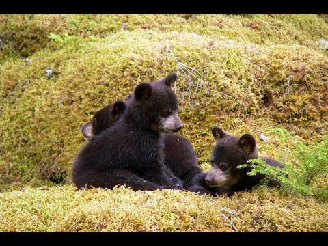 Bears cause trafficjam in Yellowstone National Park
