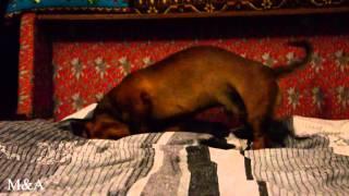 Собака после ванны / Funny dog bathing