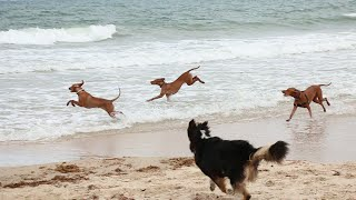 Vizsla Beach Day (Canon 70D Video Test)