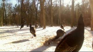 Turkey Flying Down From The Tree
