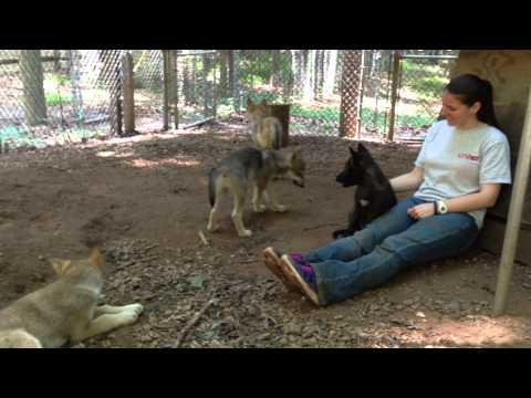 Bays Mountain Wolf Puppies Howling