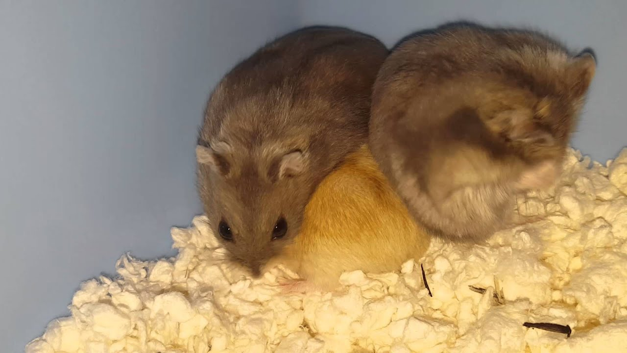 Winter White Dwarf Hamster Care & Facts - Djungarian & Siberian