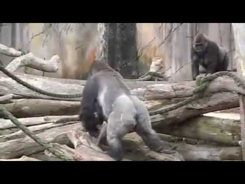 Gorillas mating at Taronga Zoo