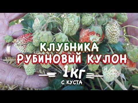 Клубника Рубиновый кулон 1 кг. с куста!!! Ароматная клубника
