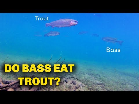 DO Bass Eat Rainbow Trout? [Swim Bait Fishing]