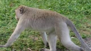 OMG! Pulsa Monkey Playing with Beautiful Girl In Front Of Tourist Group | Funny Monkey Videos thumbnail
