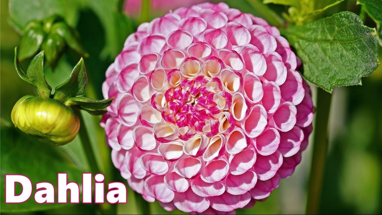 Dahlia Varieties 75 Beautiful Dahlias Flower Youtube