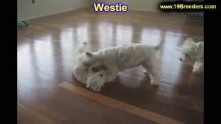West Highland Terrier, Puppies For Sale, In, Nashville, Tennessee, Tn, County, 19breeders, Knoxville