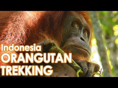 How to see Orangutans // Trek Sumatra Indonesia