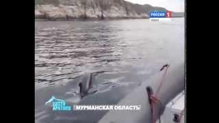 Жители Мурманской области во время рыбалки обнаружили группу  дельфинов(, 2015-04-04T07:37:50.000Z)