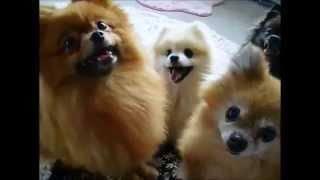 Cute Animals Doing Cute Things The Pomeranian Which I Want Bait, And Barks Funny Animal